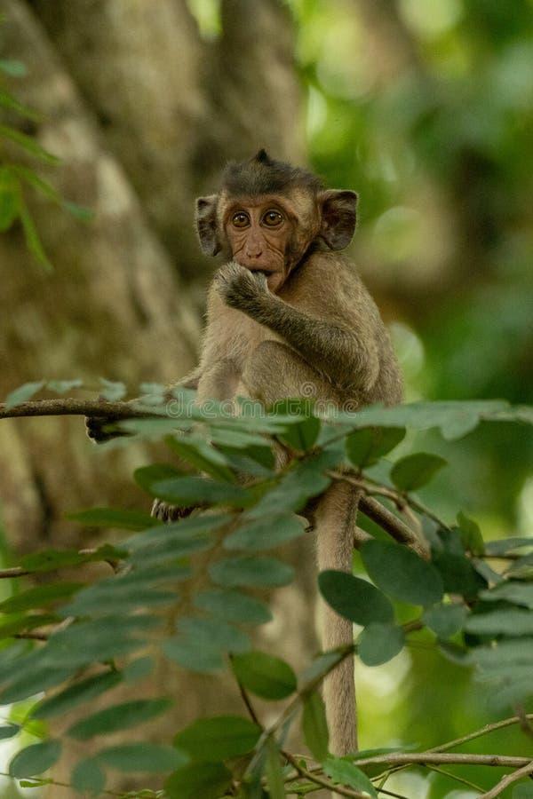 El macaque de cola larga del bebé chupa el pulgar en rama imagen de archivo
