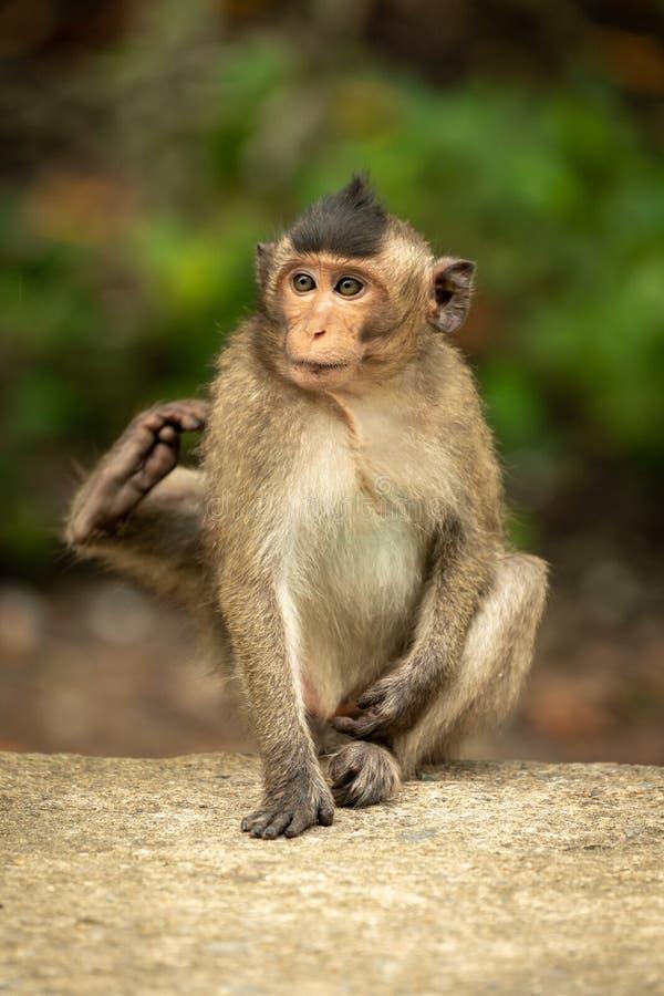 El macaque de cola larga del bebé se rasguña en la pared imagen de archivo