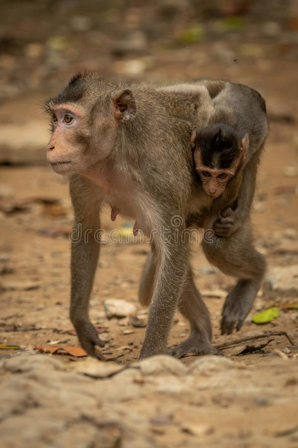 El macaque de cola larga lleva al bebé sobre la tierra rocosa imágenes de archivo libres de regalías