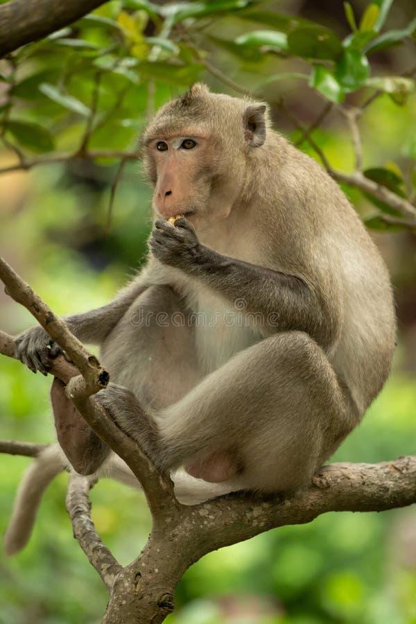 El macaque de cola larga se sienta en árbol que come la comida imagen de archivo libre de regalías