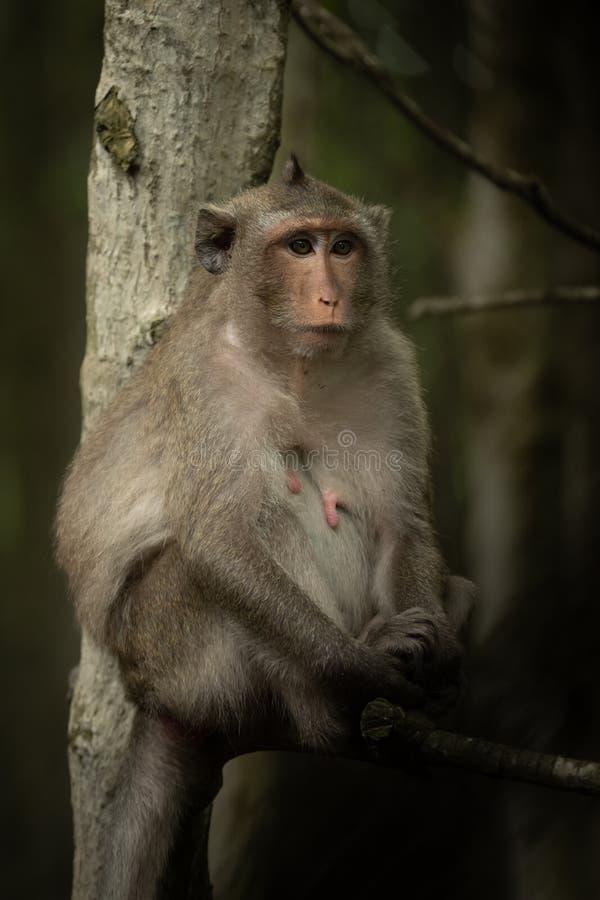 El macaque de cola larga se sienta en el árbol que parece derecho fotos de archivo libres de regalías