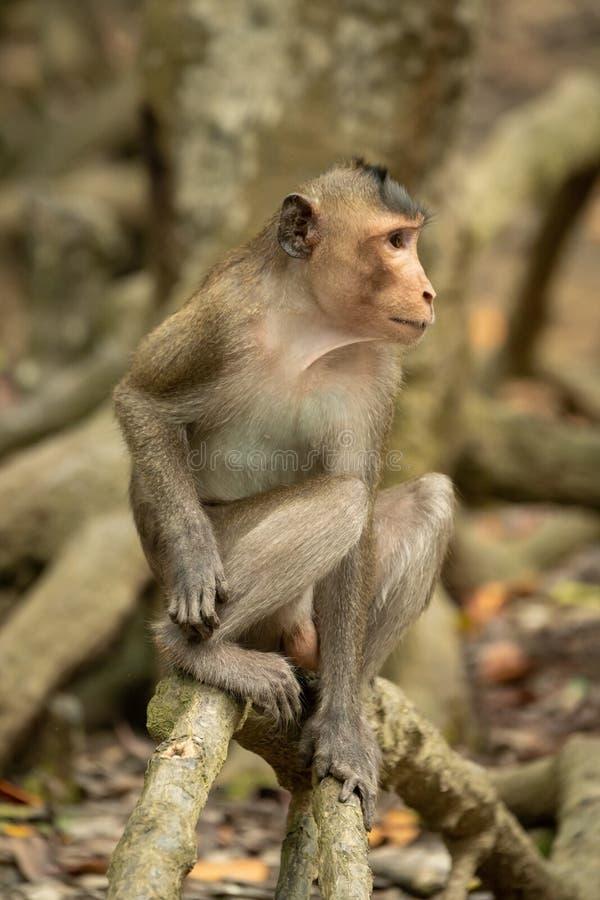 El macaque de cola larga se sienta en el mangle que parece derecho fotografía de archivo
