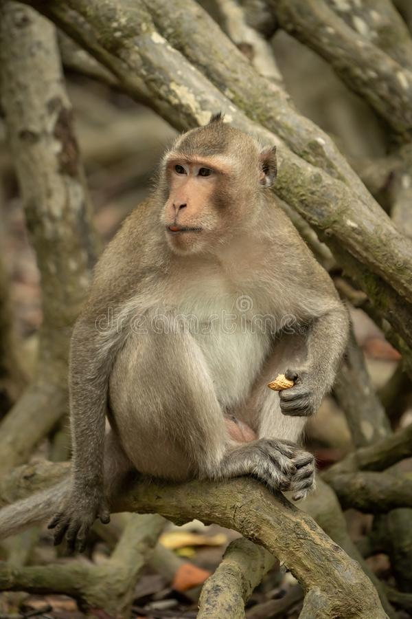 El macaque de cola larga se sienta en el mangle que sostiene la comida imagen de archivo