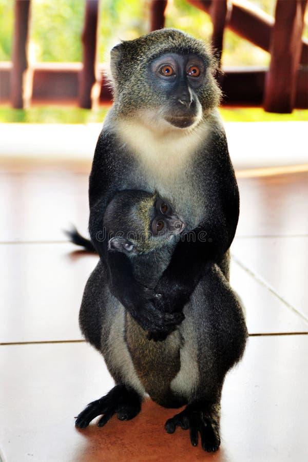 El Macaque sostiene su perrito, Kanya, África fotografía de archivo libre de regalías