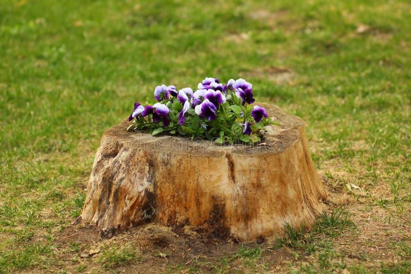 El macizo de flores de los pensamientos hizo dentro de un toc?n DIY foto de archivo libre de regalías