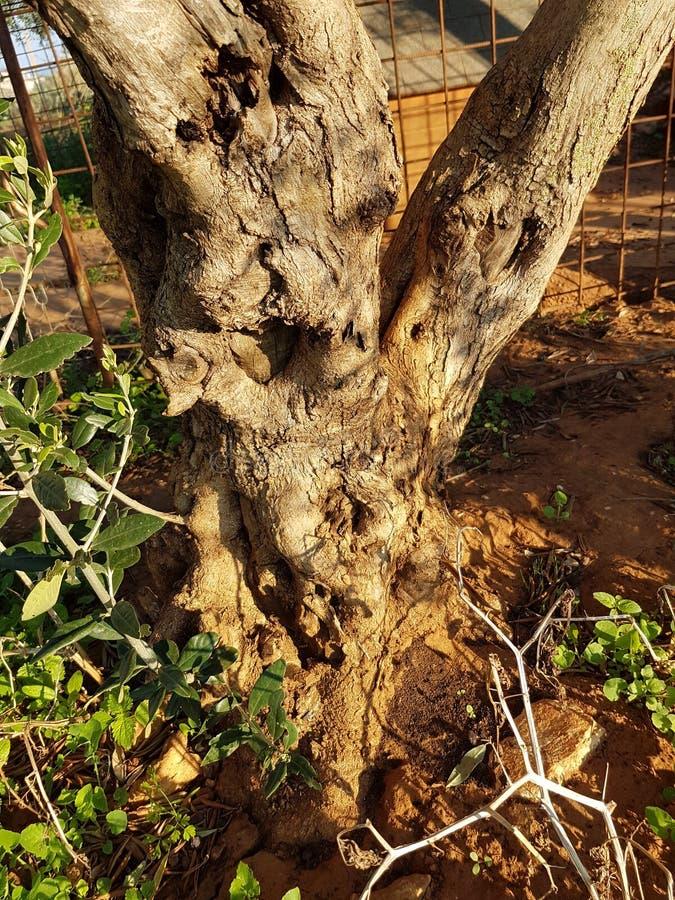 el Madrid molarnej noc oliwny sceny drzewo obrazy royalty free
