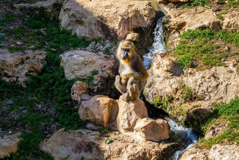 El mandril, parque zoológico bíblico de Jerusalén en Israel foto de archivo