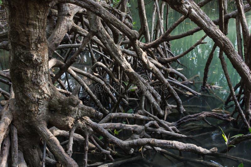 El mangle del bosque de las frutas fotos de archivo libres de regalías