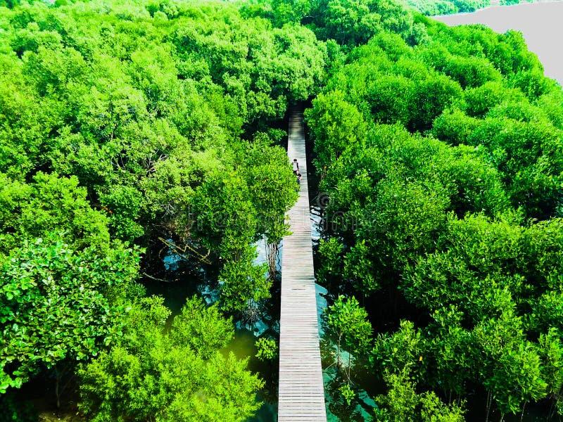 El mangle reforesta imagen de archivo
