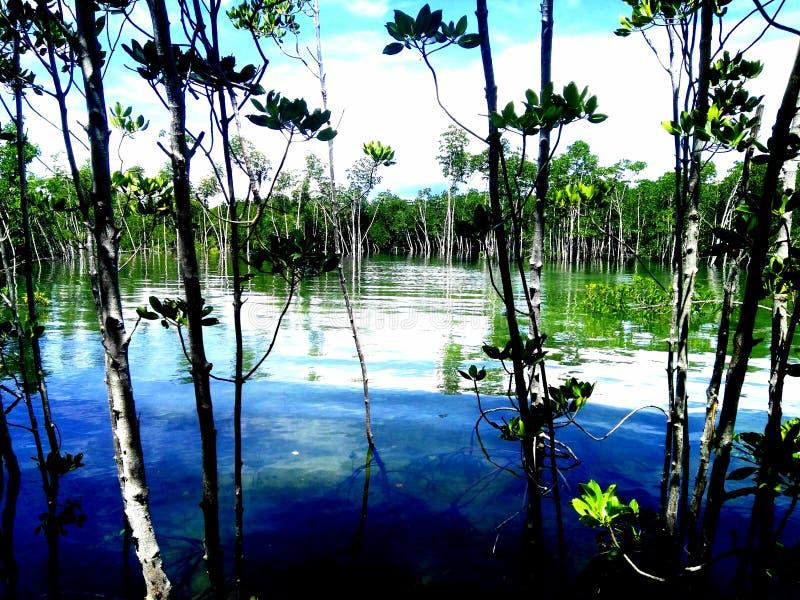 El mangle reforesta fotos de archivo libres de regalías