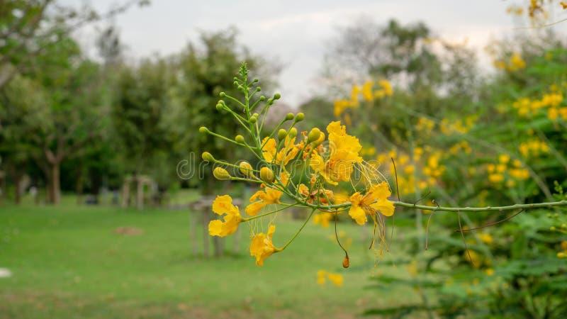 El manojo de la cresta del pavo real amarillo de los p?talos sabe como orgullo de Barbados o del fecne de la flor que florece en  foto de archivo libre de regalías