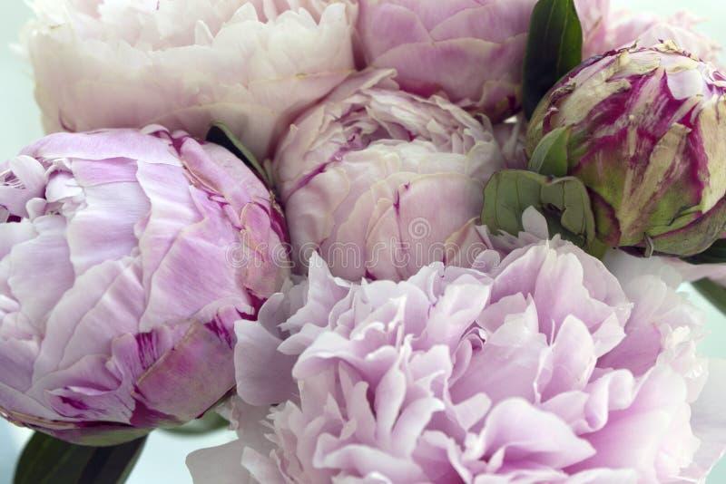 El manojo fresco de peonías rosadas, peonía del primer florece Tarjeta, para casarse fotos de archivo libres de regalías
