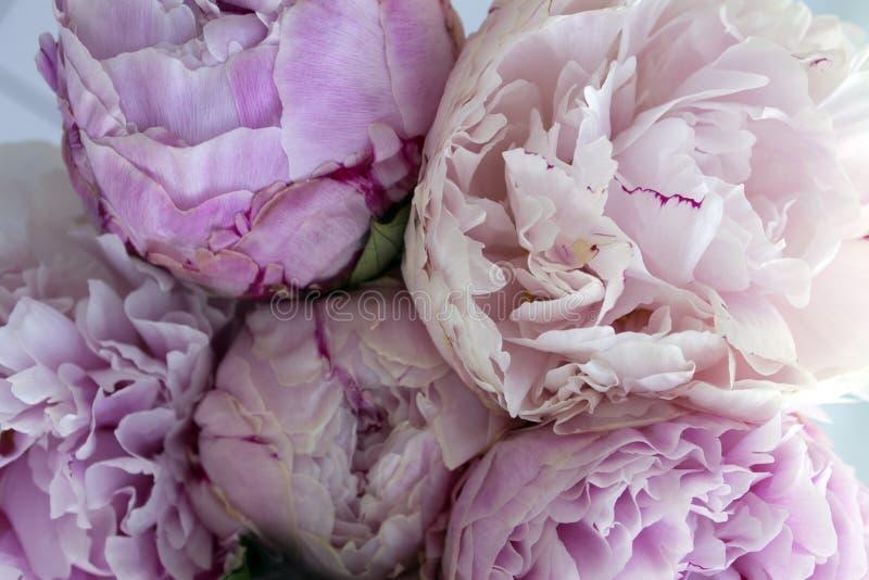 El manojo fresco de peonías rosadas, peonía del primer florece Tarjeta, para casarse foto de archivo libre de regalías