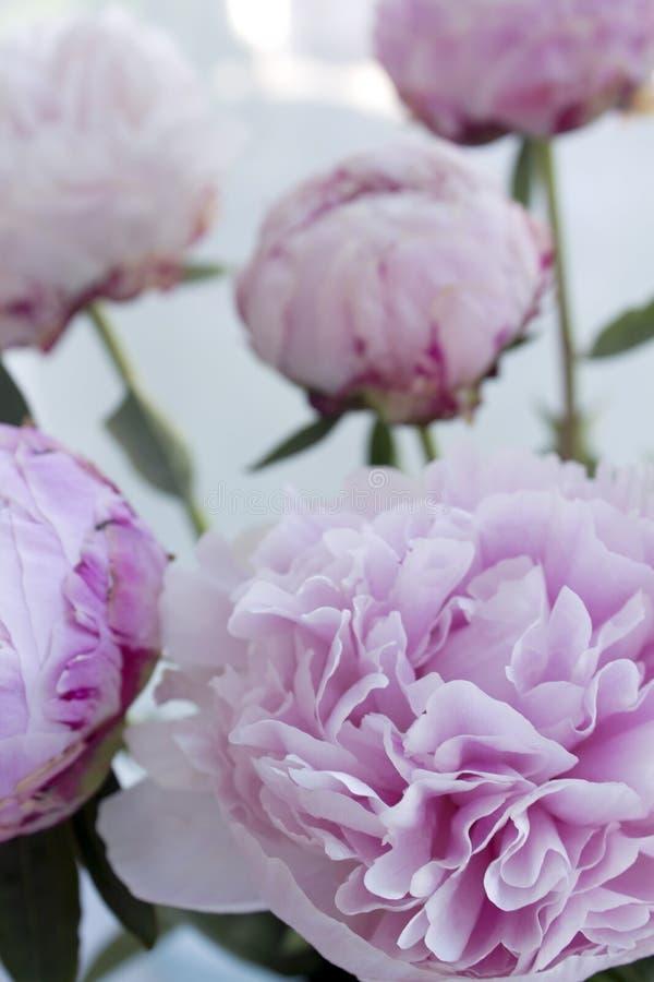 El manojo fresco de peonías rosadas, peonía del primer florece Tarjeta, para casarse imagen de archivo
