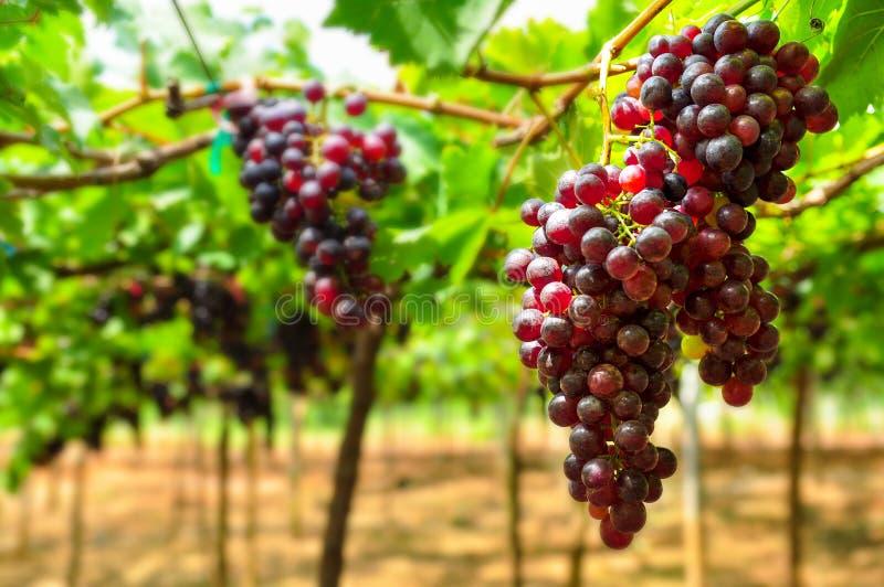 El manojo grande de uvas de vino rojo cuelga de una vid foto de archivo libre de regalías