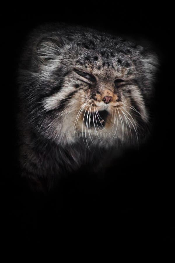 El manul salvaje enojado del gato jura y los roncos, bestia salvaje contrariedad, cierre del bozal para arriba aislada en fondo n imagen de archivo libre de regalías