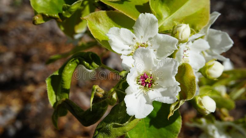 El manzano en la floración con las flores delicadas de los pétalos del blanco cinco y las hojas verdes jovenes se cierran para ar foto de archivo libre de regalías