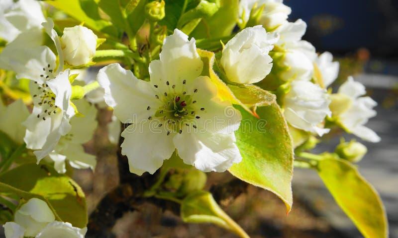 El manzano en la floración con las flores delicadas de los pétalos del blanco cinco y las hojas verdes jovenes se cierran para ar imágenes de archivo libres de regalías