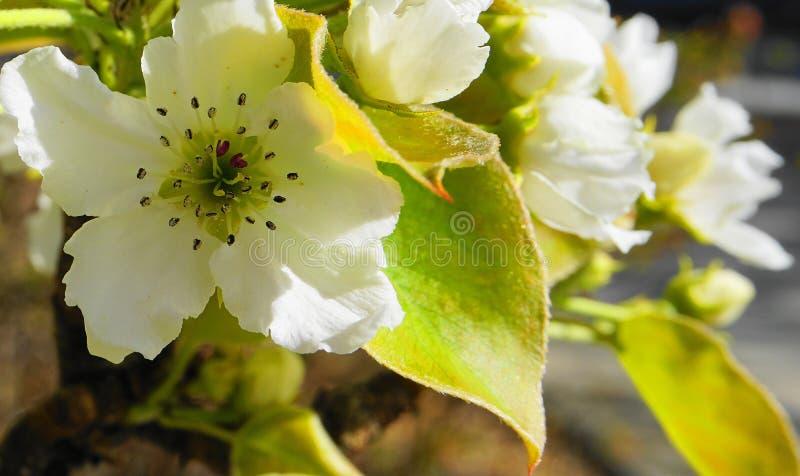 El manzano en la floración con las flores delicadas de los pétalos del blanco cinco y las hojas verdes jovenes se cierran para ar imagen de archivo