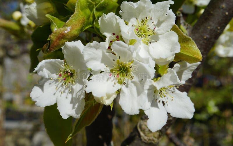 El manzano en la floración con las flores delicadas de los pétalos del blanco cinco y las hojas verdes jovenes se cierran para ar fotos de archivo libres de regalías
