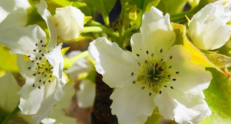 El manzano en la floración con las flores delicadas de los pétalos del blanco cinco y las hojas verdes jovenes se cierran para ar foto de archivo