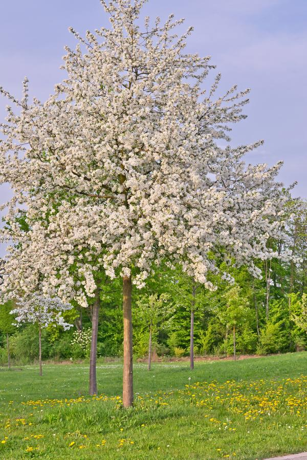 El manzano entero con la manzana blanca florece por completo en una hierba y los dientes de león colocan foto de archivo