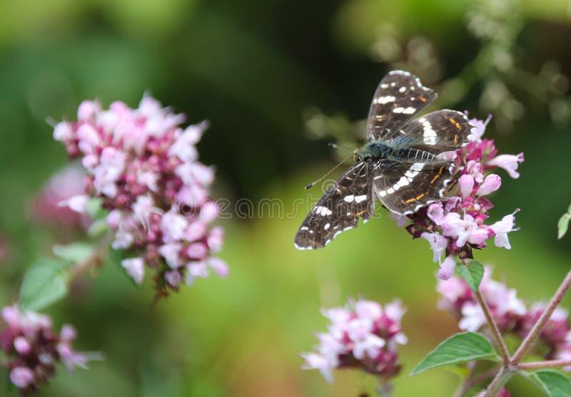 El mapa, levana de Araschnia es una mariposa del Nymphalidae de la familia imagen de archivo libre de regalías