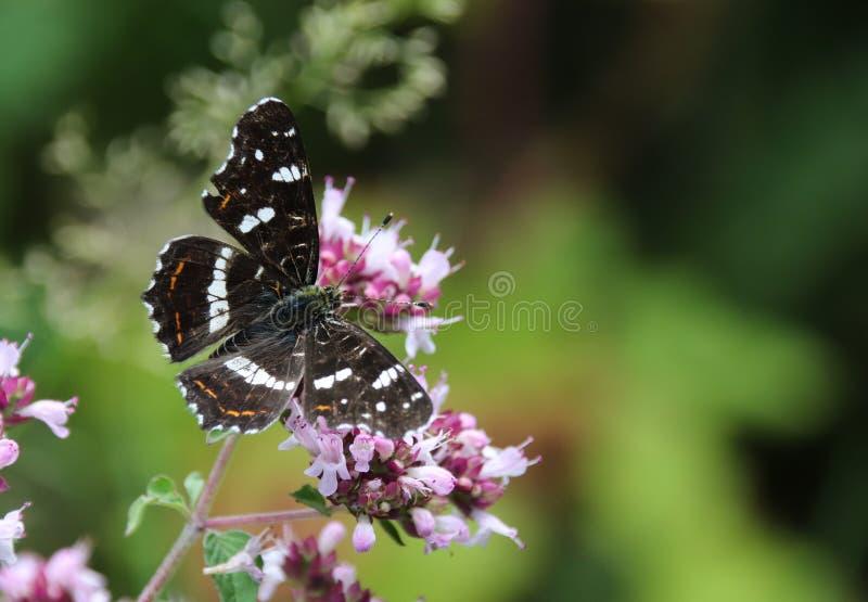 El mapa, levana de Araschnia es una mariposa del Nymphalidae de la familia imagenes de archivo