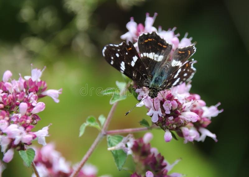 El mapa, levana de Araschnia es una mariposa del Nymphalidae de la familia imagen de archivo