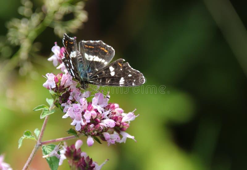 El mapa, levana de Araschnia es una mariposa del Nymphalidae de la familia imágenes de archivo libres de regalías