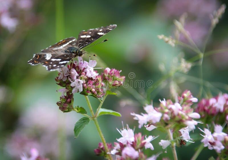 El mapa, levana de Araschnia es una mariposa del Nymphalidae de la familia fotografía de archivo libre de regalías