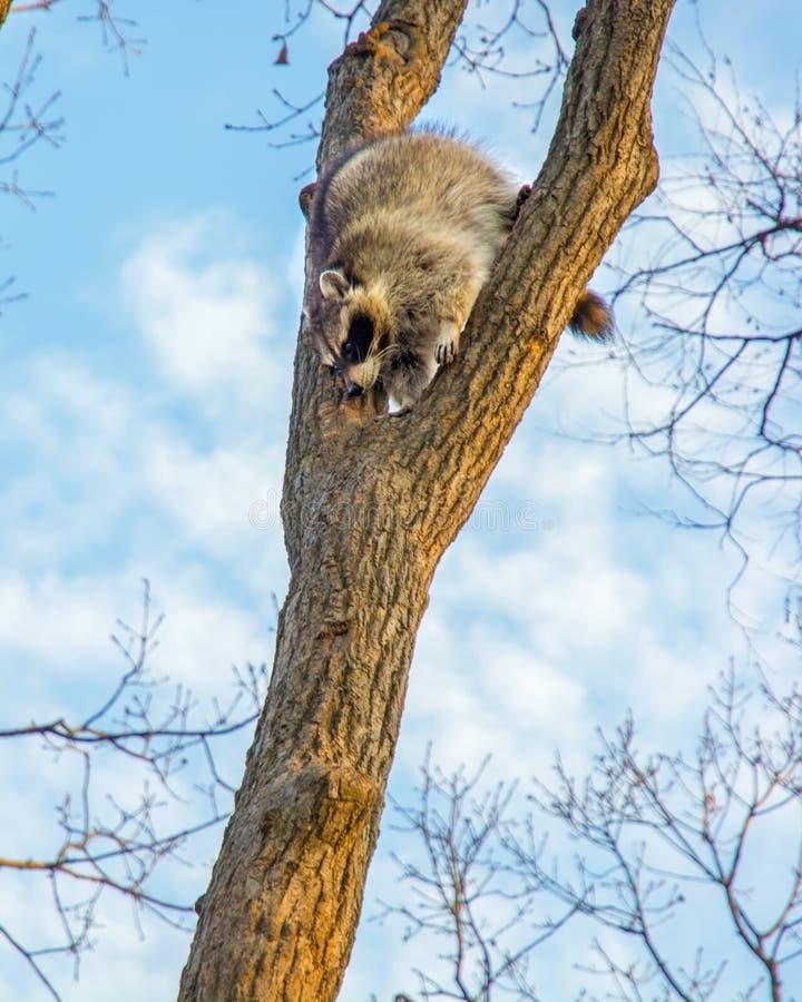 El mapache mullido se sienta arriba para arriba en un árbol y una observación fotos de archivo