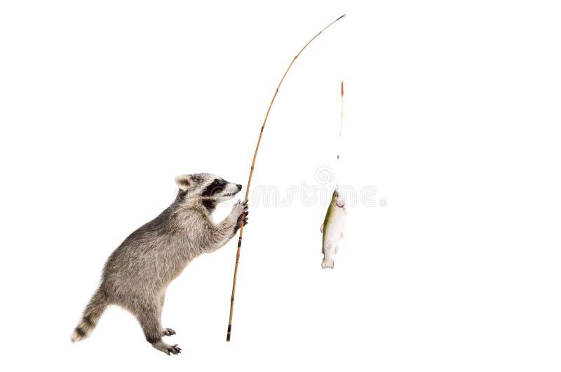 El mapache que se colocaba con una trucha cogió en una caña de pescar imagen de archivo
