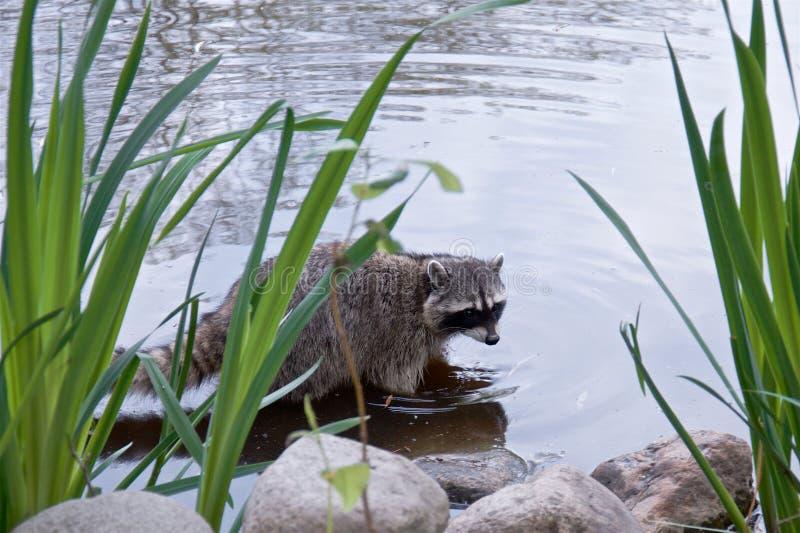 El mapache se está colocando en la orilla de la charca, fotos de archivo libres de regalías