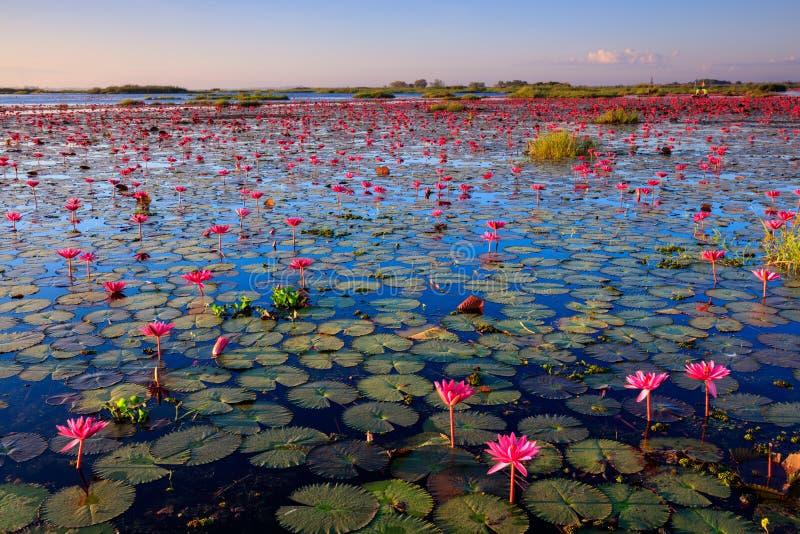 El mar del loto rojo, lago Nong Harn, Udon Thani, Tailandia fotografía de archivo libre de regalías