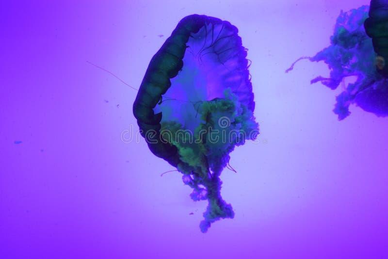 El mar japonés ofende medusas fotografía de archivo