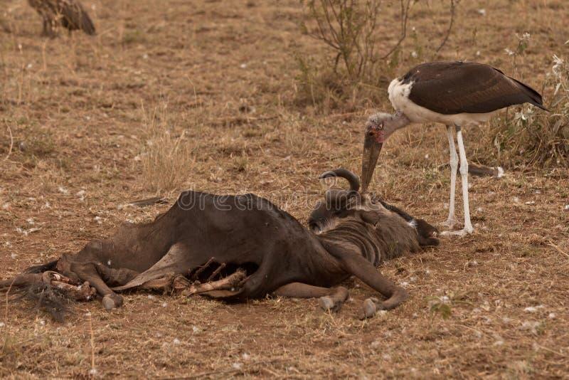 El Marabú Come Un Gnu Fotos de archivo