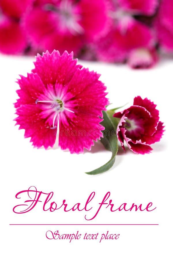 El marco floral adornado del barbatus rojo del clavel florece imagen de archivo