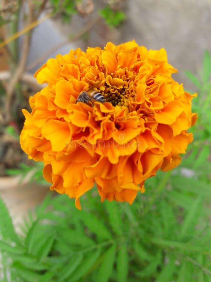 El Marigold Genda phol indio Full HD foto de archivo libre de regalías