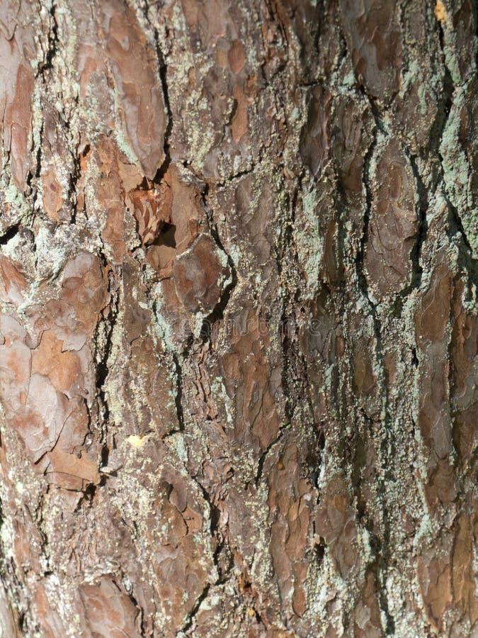 El marrón de madera del bosque de la textura de la corteza de árbol agrieta el musgo foto de archivo