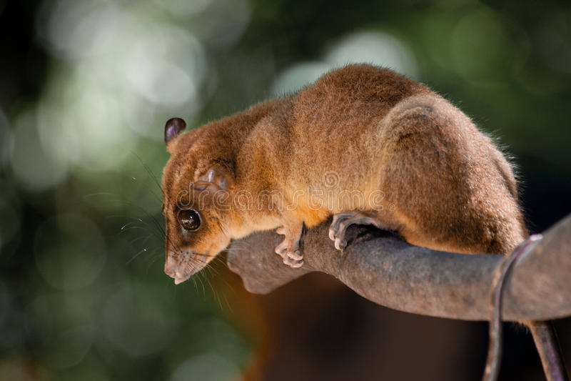 El marsupial nombró   foto de archivo libre de regalías