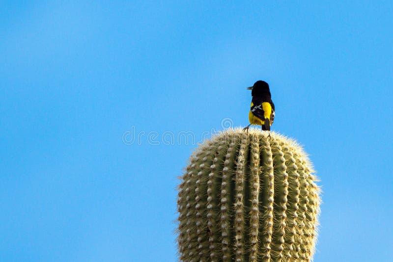 El ` masculino s Oriole de Scott canta encima de un cactus gigante del Saguaro en Arizona meridional fotografía de archivo