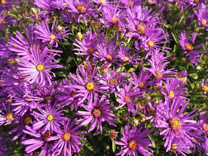 El masterwort púrpura del ` del Lars del ` del comandante del Astrantia florece imagenes de archivo
