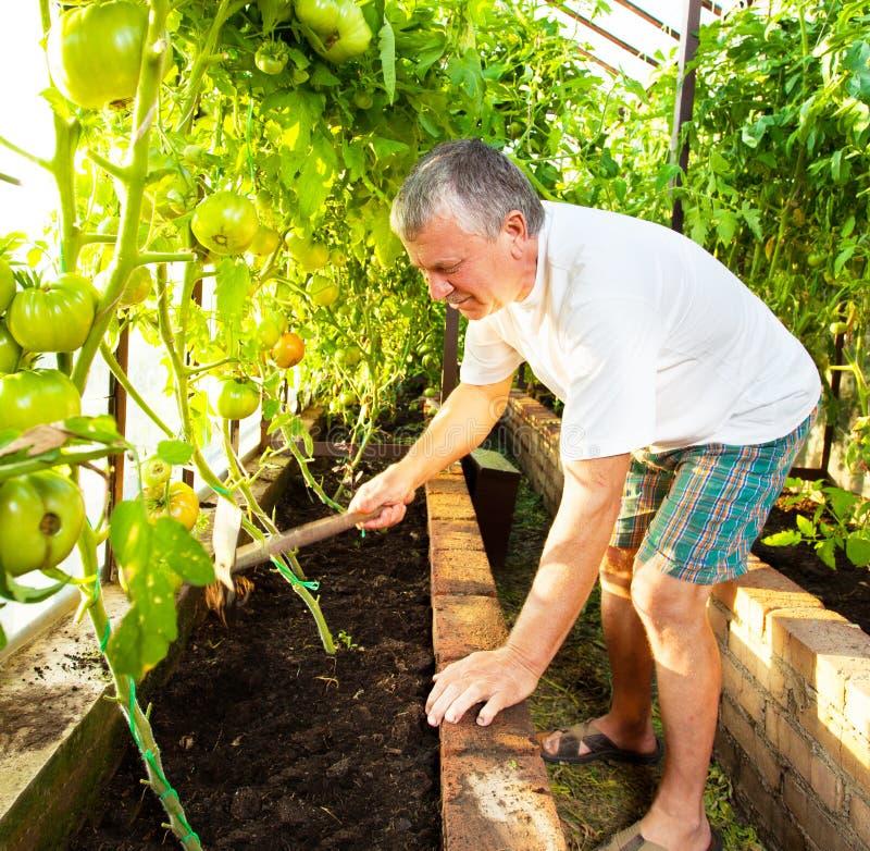 El mayor crece la cosecha en el invernadero fotos de archivo