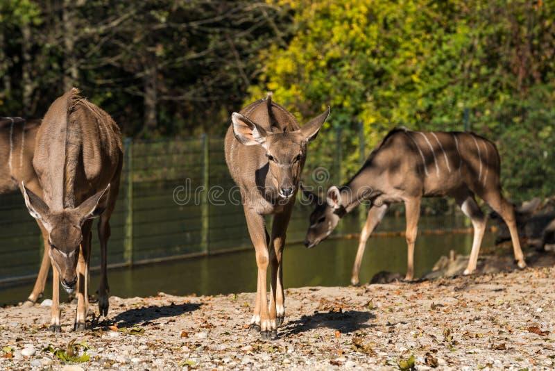 El mayor kudu, strepsiceros del Tragelaphus es un ant?lope del arbolado fotografía de archivo