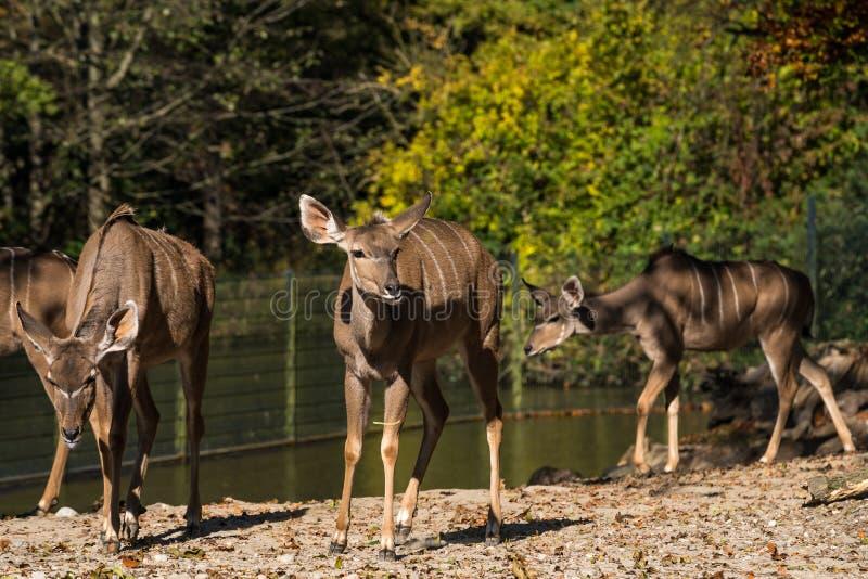 El mayor kudu, strepsiceros del Tragelaphus es un ant?lope del arbolado fotos de archivo