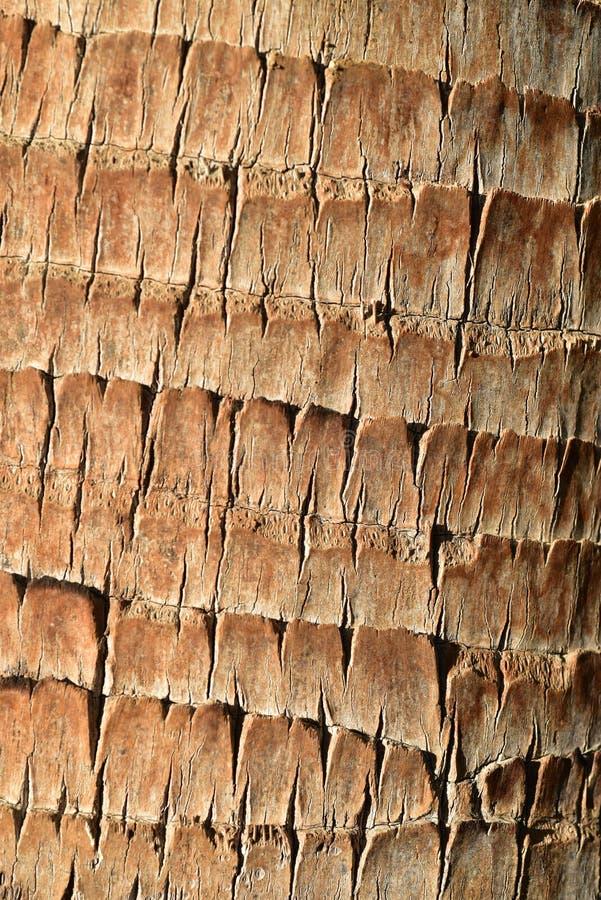 El mejor fondo cercano del modelo de la textura de la corteza de palmera del detalle fotos de archivo libres de regalías