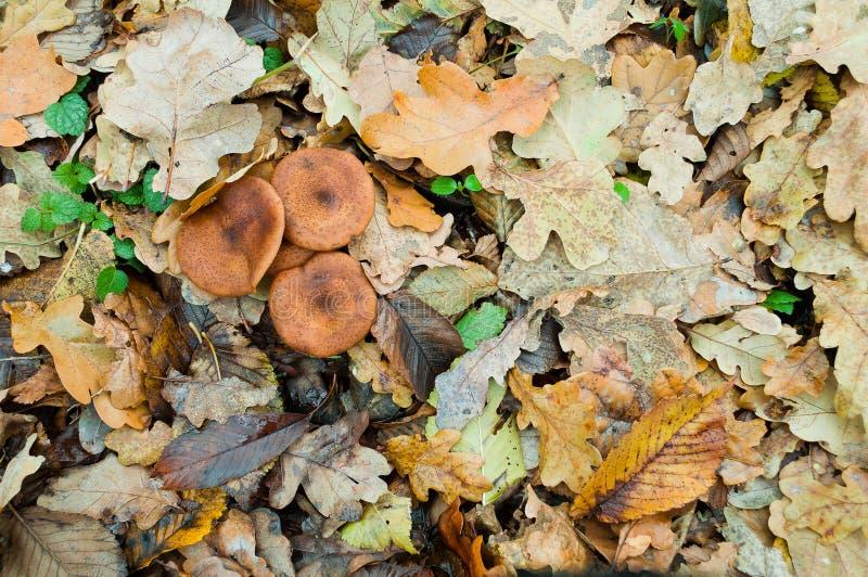 El mellea comestible del Armillaria del hongo de miel de las setas del otoño crece en t imágenes de archivo libres de regalías