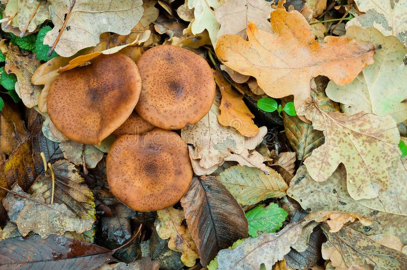 El mellea comestible del Armillaria del hongo de miel de las setas del otoño crece en t foto de archivo libre de regalías