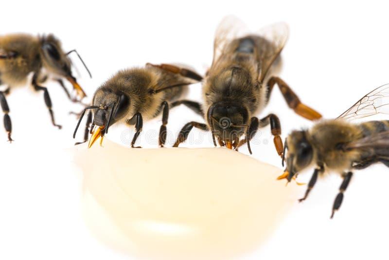 El mellifera de los apis de los trabajadores de la reina madre de la abeja y de la abeja está bebiendo la miel imágenes de archivo libres de regalías